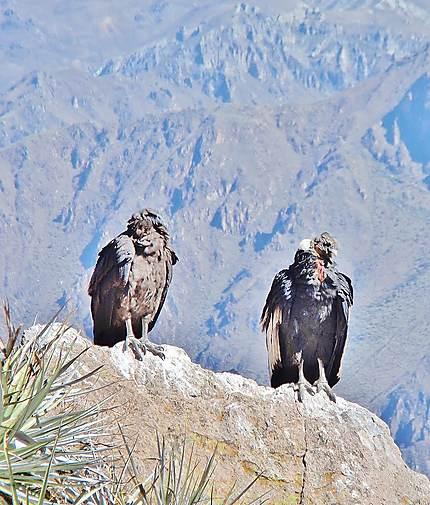 Couple de Condor à Colca