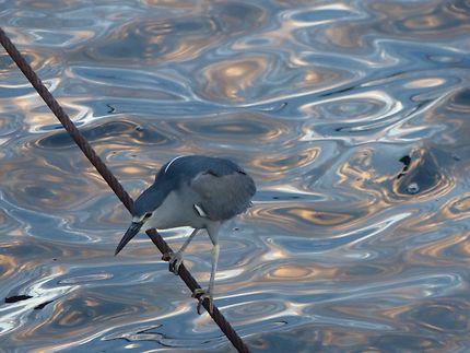 Oiseau pêcheur contemplatif