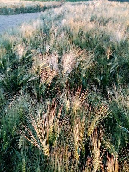 Ondulations champ de blé sous le vent de l'été