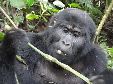 Trekking chez les gorilles