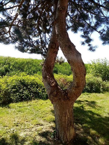 Abre dont le tronc se sépare en 2