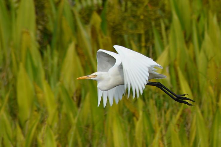 Garde-boeuf d'Asie, Parc national de Ream