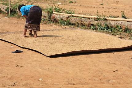 Dans le village K'mu, travaux de séchage du riz