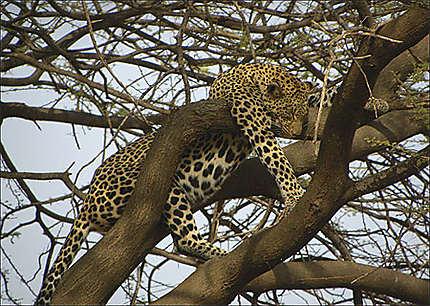 Samburu - Léopard faisant la sieste