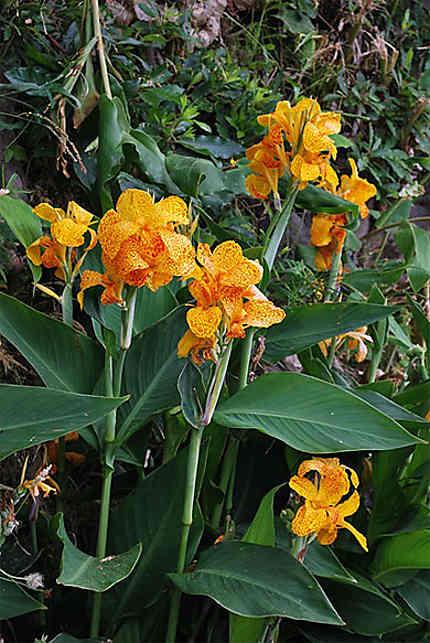 Orchidées, région de Cédros