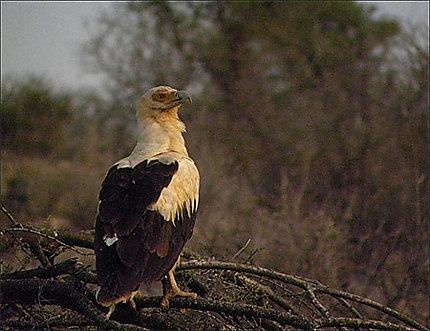 Samburu - Aigle