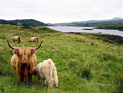 Veau qui se sustente, Isle of Skye