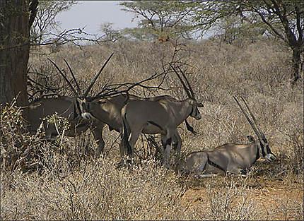 Samburu - Oryx