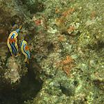 Couple de Nudibranches