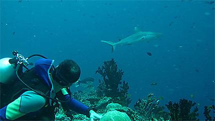 Attention derrière, requin gris !