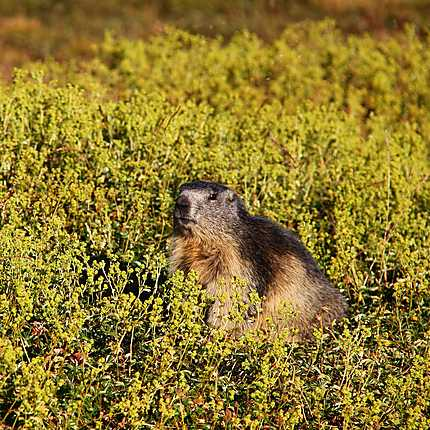 Marmotte, Col du Granon, Hautes-Alpes