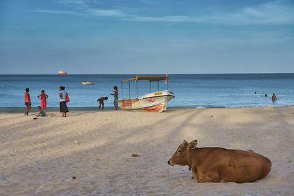 Vache sacrée à la plage