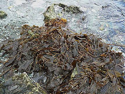 Plage recouverte d'algues
