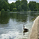 Oie dans le parc
