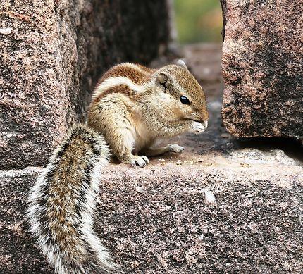 L'écureuil, Inde