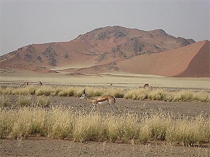 Springboks dans le désert