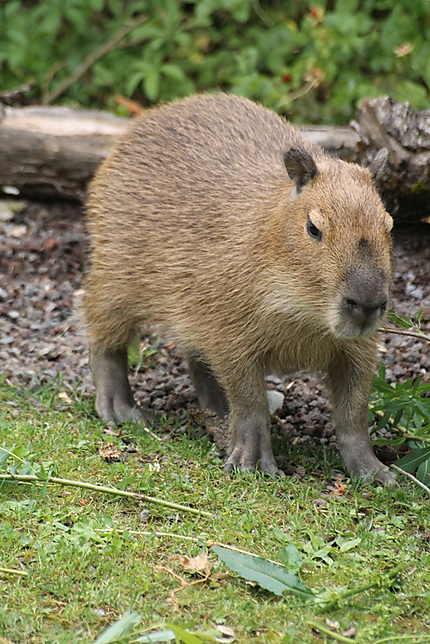 Le Capybara au zoo de Zurich